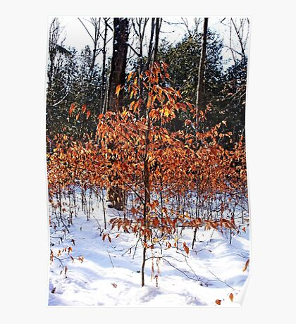 Beech Trees In Winter Poster