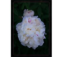 White Peony And Companion Abstract Flower Painting Photographic Print