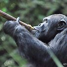 Chimpanzee ( Pan Troglodytes) by Jeff Ore