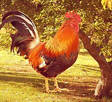 Country Rooster on a Farm by carolynrauh