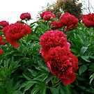 Cluster of Peonies by MarianBendeth