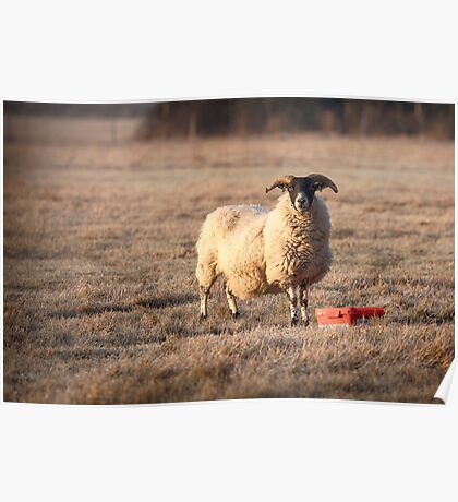 Norfolk horn sheep feeding on a frosty morning Poster