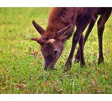 Young Elk Grazing Photographic Print