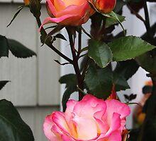 Roses on a Trellis by SummerJade