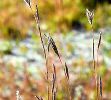 Autumn Grasses by Robert Meyers-Lussier