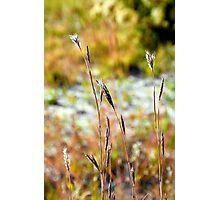 Autumn Grasses Photographic Print