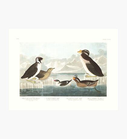 Ancient Murrelet, Kittlitz's Murrelet, Least Auklet, Crested Auklet and Rhinoceros Auklet- John James Audubon  Art Print