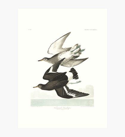 Surfbird - John James Audubon Art Print