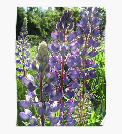 Late Afternoon Lupins Poster