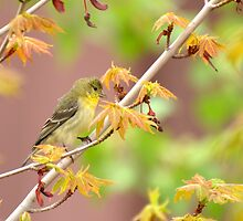 American Goldfinch In Springtime Maple by Diana Graves Photography