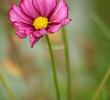 Summer Love Cosmos Flower by Diana Graves Photography