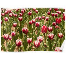 Leen Van Der Mark Tulips Poster