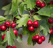 red berries in the garden by spetenfia