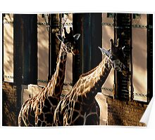 Two Giraffes in the Shadows Poster