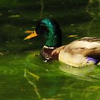 Duck on pond ... Colorado Springs by dfrahm