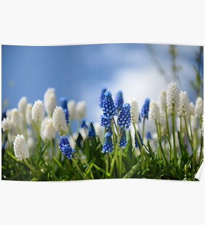 Tiny World of the Grape Hyacinths Poster