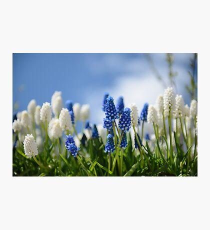 Tiny World of the Grape Hyacinths Photographic Print