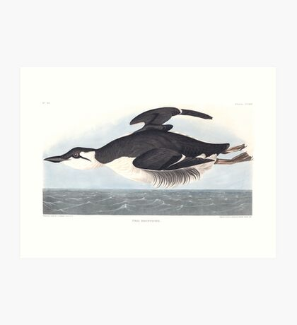 Thick-billed Murre - John James Audubon Art Print