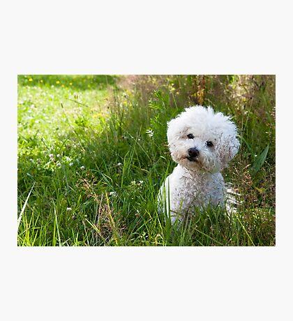 Little Cute White Dog Photographic Print