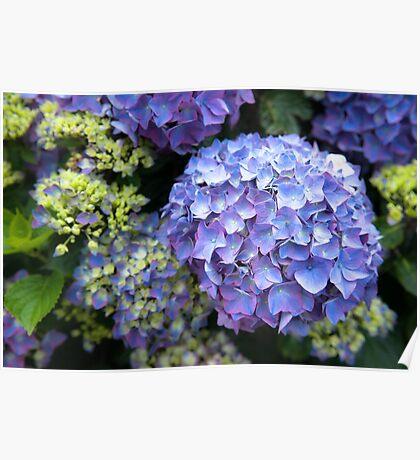 Blue-lilac hydrangeas (hortensias) Poster