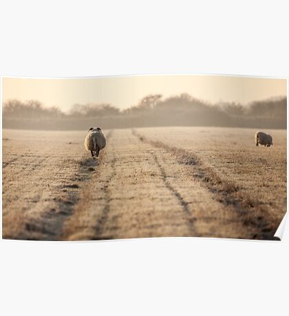 Norfolk sheep walking the track Poster
