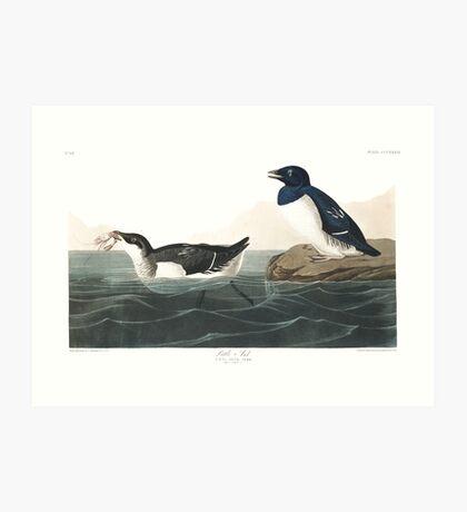 Dovekie - John James Audubon Art Print
