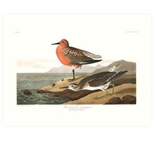 Red Knot - John James Audubon Art Print