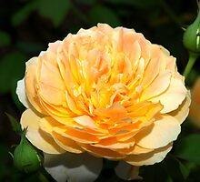 Light orange and yellow rose by ♥⊱ B. Randi Bailey
