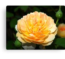 Light orange and yellow rose Canvas Print