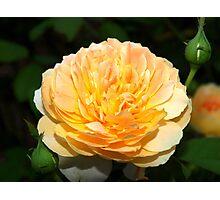Light orange and yellow rose Photographic Print