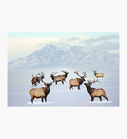 Northern bull elk Photographic Print