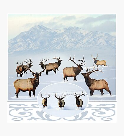 Northern bull elk 2 Photographic Print