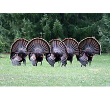 Wild turkey mating dance Photographic Print