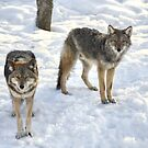 Coyotes  by Poete100