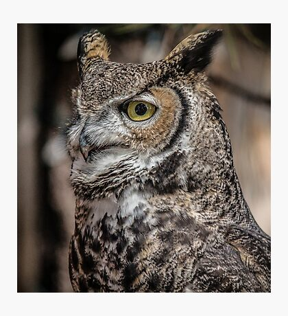 Great Horned Owl Portrait Photographic Print