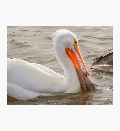 American White Pelican Handling Large Fish 2016 Photographic Print