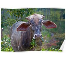 Costa Rica.  Portrait of some unknown cow. Poster