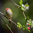 Red-browed finch in a crab apple tree by ThisMoment