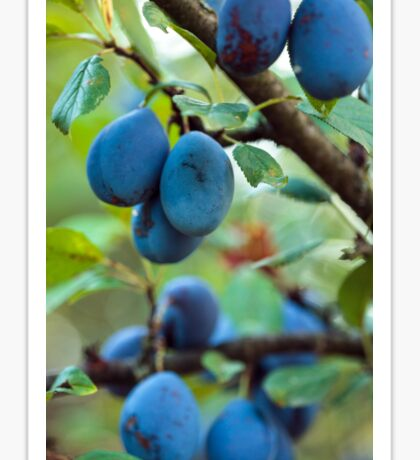 Ripe blue plums in an orchard Sticker