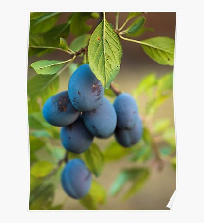 Ripe blue plums in an orchard Poster