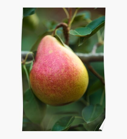 Red yellow pear on a branch Poster