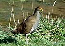 Tasmanian Native-hen by Graeme  Hyde