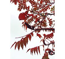 Autumn Leaves turning Red Photographic Print