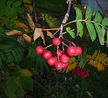 Red Berries by merrychris