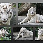White Tiger Collection #1 by Leanne Allen