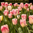 Pink Tulips by SusanAdey