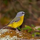 Eastern Yellow Robin by Robert Elliott