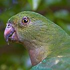 King Parrot (female) by Robert Elliott