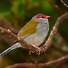 Red-browed Finch by Robert Elliott