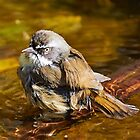 White-browed Scrubwren by Robert Elliott